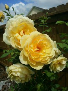 My yellow roses
