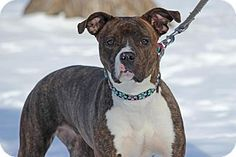 Midland, MI - American Pit Bull Terrier/Boxer Mix. Meet Foxy Lady, a dog for adoption. http://www.adoptapet.com/pet/14946187-midland-michigan-american-pit-bull-terrier-mix