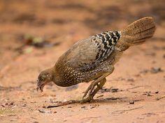 Sri Lanka Junglefowl (Gallus lafayetii)