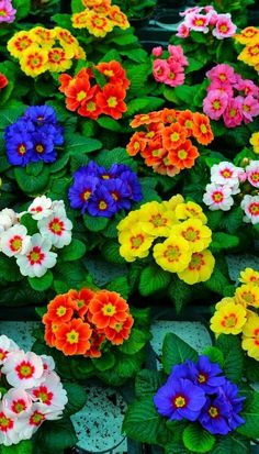 With an exceptionally long flowering period (from late January) Stella Polyanthus are an excellent choice for a winter bedding scheme. Their foliage is darker than other varieties so they really stand out in a crowd. Our Polyanthus Stella Collection contains a mix of our favourite, colourful varieties from the Stella range - ideal for landscape work or in pots and containers. A great mix for flower beds and borders.