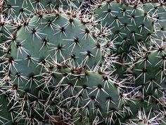 Opuntia discata Griffiths 1908 (forma DJF 1400 San Guillermo, Chihuahua, Mexico) min.temp.<-25°C/<-13°F full sun, yellow flower, alkaline soil