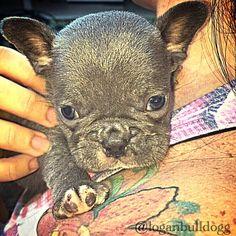 @loganbulldogg Puppy blue french bulldog