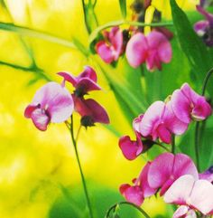 Sweet peas shared by Francesca #beautifulworld