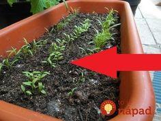 Na toto video som natrafil minulý rok a skúsili sme to aj doma. Naozaj, o 3 hodiny môžete vidieť malé slížiky - výhonky petržlenu nad zemou. Za všetko môže urýchľovač klíčenia, na ktorý by som Easy Craft Projects, Planting Vegetables, Garden Inspiration, Bonsai, Diy And Crafts, Food And Drink, Herbs, Gardening, Nature