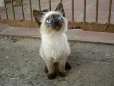 Baby Siamese Cat, Brazil