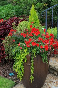 Cupressus 'Goldcrest', Petunia 'Ramblin Red', Euphorbia 'Ascot Rainbow'. Coleus 'Burgundy Wedding Train', Creeping Jenny, Red Geranium