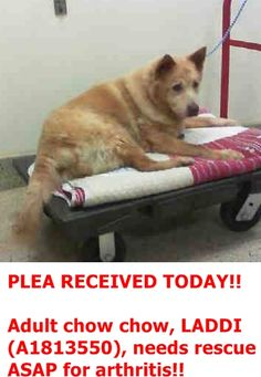 LADDI (A1813550) I am a female tan Chow Chow mix.  The shelter staff think I am about 6 years old and I weigh 56 pounds.  I was found as a stray and I may be available for adoption on 09/07/2016. 2016.09.03 Miami Dade  https://www.facebook.com/urgentdogsofmiami/photos/a.477521308948944.116125.191859757515102/1280069722027428/?type=3&theater