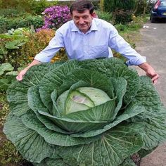 Cheap Bonsai, Buy Directly from China Seeds Rare Giant Russian Cabbage Seeds, High-Quality Vegetable vegetable seeds germinatio Organic Vegetable Seeds, Organic Vegetables, Organic Gardening, Funny Vegetables, Cabbage Vegetable, Gardening Hacks, Vegetable Gardening, Cabbage Seeds, Cabbage Juice