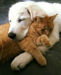 animals friends unlikely animal friends Cat love, best friends the perfect indoor companion. Cute Baby Animals, Animals And Pets, Funny Animals, Funny Cats, Unlikely Animal Friends, Tier Fotos, Ginger Cats, New Puppy, Cat Love