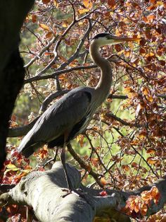 Great blue heron at Mt. Auburn Cemetery, #CambMA #CambridgeMA