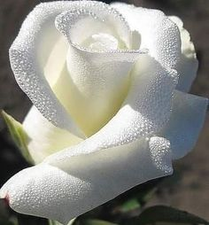 My grandpa Had the most amazing white rose bush in front of street. I want to bring it back to the front of that house. Beautiful Rose Flowers, Exotic Flowers, Amazing Flowers, My Flower, White Flowers, Flower Power, Beautiful Flowers, Beautiful Beach, Simply Beautiful