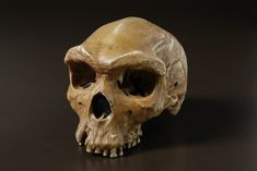 'Kabwe' or 'Broken Hill 1' Homo heidelbergensis skull. Bigfoot?  Bones will not fossilize in heavily forested areas. Land bridge movement into NA is possible.
