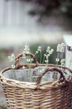 White Lavender//