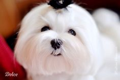 Maltese Obsession: Pet Maltese Grooming at Home