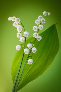 Lilly of the Valley by Dorothea on 500px
