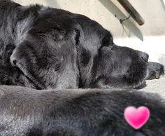 #CADBarrique #Buerohund #Pause #Blacklabrador #Labbi #Doglove #Dog