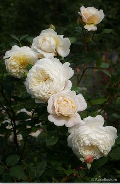 Crocus Rose®