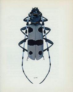 Vintage Print, Long-horned, or Longicorn Beetle (135) Vladimir Bohac, 1965, Bug Creepy Crawly, for Framing. £8.50, via Etsy.