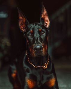 Doberman Ear Cropping, Don Perignon, Coyote Hunting, Archery Hunting, Scary Dogs, Doberman Pinscher Dog, Cute Dogs And Puppies, Corgi Puppies, Big Dogs