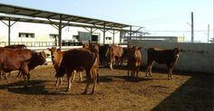 كتاب الأبقار الشامية و كيفية الحفاظ عليها