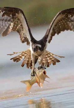75c4fc32c630 Woow un poisson volant 😂😂😂😂 Oiseaux De Proie, Les Oiseaux Du Monde