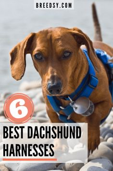 Carlotta takes an in-depth look into the 6 Best Harnesses for Dachshunds. She looks at the different types of harnesses and what to look for in a Good Dachshund Harness. Dachshund Facts, Dachshund Quotes, Funny Dachshund, Dachshund Puppies, Weenie Dogs, Dachshund Love, Doggies, Daschund, Cream Dachshund