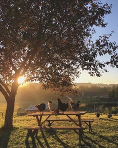 Chickens on wood bench /picnic table sunrise countryside Country Farm, Country Life, Country Living, Country Roads, Esprit Country, Vie Simple, Flora Und Fauna, Serenity, Nature Photography
