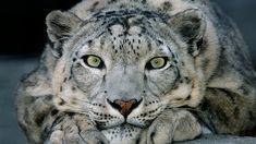 Snow Leopard   San Diego Zoo Animals & Plants
