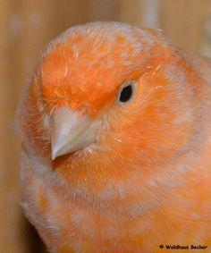 Kanarienvogel, männlich, Rasse: Farbkanarie