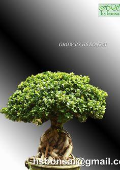 www.hsbonsai.cn Ficus Ginseng Bonsai, Bonsai Nursery, Herbs, Herb, Medicinal Plants