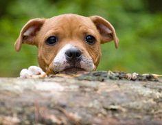Staffie puppy