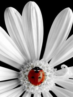 Ladybird / lady bug on white daisy with unusual white center.