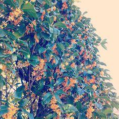 smelling orange sweet tea on the way to the station.    駅までの道にキンモクセイが満開。  昔はこのニオイの芳香剤が苦手だったけど、秋の短い期間の香りを最近は楽しめるようになったよ。 - @meeeeca- #webstagram