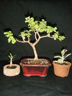 Venta de bonsai pre bonsai tiestos hypertufa, Venta de bonsai, tiestos y herramientas en el area de Carolina Puerto Rico. Regala un bonsai! Tiestos de hypertufay. Venta al por-mayor Bonsai for gifts Hypertufa Pots Carolina, PR Fotos