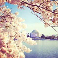 DC is covered in cherry blossoms this week!
