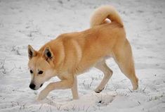 Canaan Dog Watch Out!
