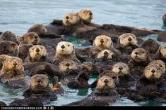 Otters, otters, everywhere!