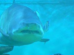 Carcharias taurus (Sand Tiger Shark), Photo Credit: BioLib.cz/Jiří Bukovský, http://eol.org/data_objects/2005156