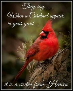 When a cardinal appears in your yard it is a visitor from Heaven. Pretty Birds, Beautiful Birds, Animals Beautiful, Beautiful Voice, Polo Sul, Polo Norte, State Birds, Wale, Cardinal Birds
