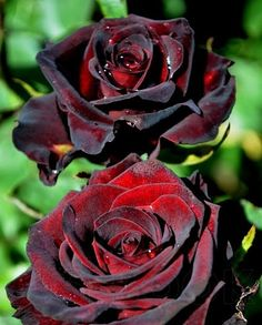 Beautiful Rose Flowers, Exotic Flowers, Beautiful Gardens, Beautiful Flowers, Black And Red Roses, Bonsai, Rare Roses, Gothic Garden, David Austin Roses