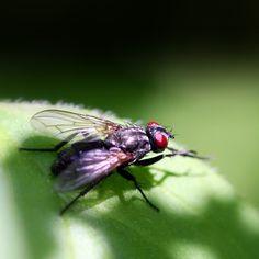 Common Flesh Fly/ Grijze Vleesvlieg (Sarcophaga carnaria)