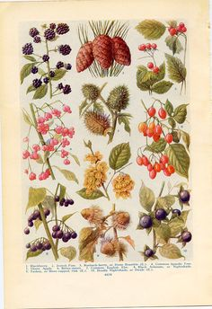 "1926 Vintage GARDEN FLOWER /""SNOWBALL/"" GORGEOUS COLOR Art Print Lithograph"
