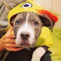 Happy Halloween from Spartacus! He is looking for his forever home @spcaoftexas