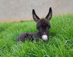 Cute little donkey with sweet eyes laying in the lush green grass.