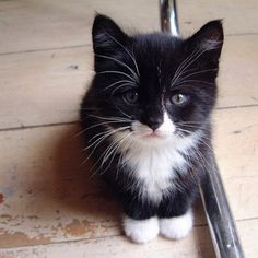Hands up who loves an adorable baby kitten with white socks? I do!  #cats #kitten