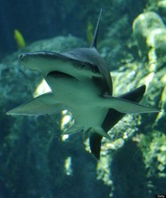 A Bonnethead shark swims at the Aquarium of the Pacific in Long Beach, California, on April 26, 2012.The Aquarium features a collection of o...