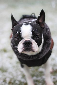 My Boston will look at you with this face when its snowing ,,,like you really done exspect me to go out there ? Cute Puppies, Cute Dogs, Dogs And Puppies, Doggies, Terrier Puppies, Bulldog Puppies, Boston Terrier Love, Boston Terriers, Super Cute Animals