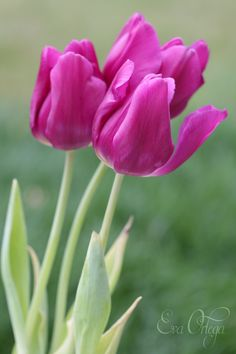 pink tulips - null