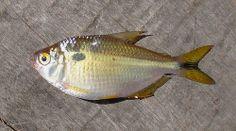 Lambari-de-rabo-amarelo (Astyanax jacuhiensis)