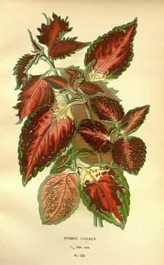 """""""Hybrid Coleus"""" / Favourite flowers of garden and greenhouse /. London and New York :Frederick Warne & co.,1896-97..."""